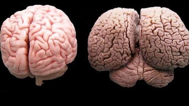 Cerebro humano y Cerebro de un delfin